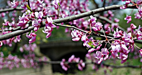 Blooming by the Bridge